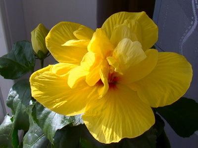 Гибискус махровый: описание и правила ухода в домашних условиях, фото комнатного растения с цветками красной, белой, желтой, розовой и персиковой окраски