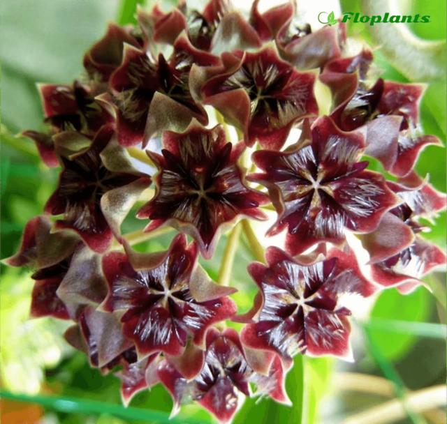 Хойя (hoya) или восковой плющ: что это за комнатный цветок - фото и описание, как выглядит, а также где родина растения и как за ним ухаживать в домашних условиях?
