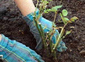 Как пересадить розу весной правильно, к примеру, 6-летнее растение и можно ли переместить с одного на другое место после покупки?