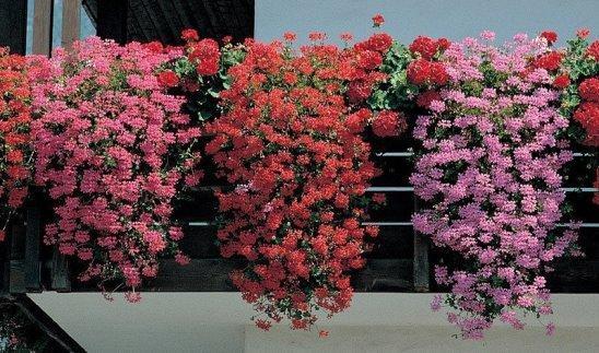 Пеларгония плющелистная: что это такое, сорта, способы размножения, уход в домашних и садовых условиях, а также фото Пинк Розебуд, Мексика Неолит и других видов