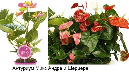 Антуриум оранжевый: фото растения и описание сортов — Беби, Чемпион, Амаретти, а также похожие цветы и уход в домашних условиях
