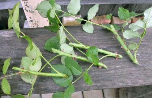 Как вырастить розу в картошке: можно ли размножить цветок таким способом и посадить осенью в домашних условиях, как пошагово произвести укоренение черенков, фото