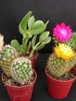 Маммиллярия микс: фото кактуса и описание, уход и размножение в домашних условиях, возможные болезни растения и способы их лечения