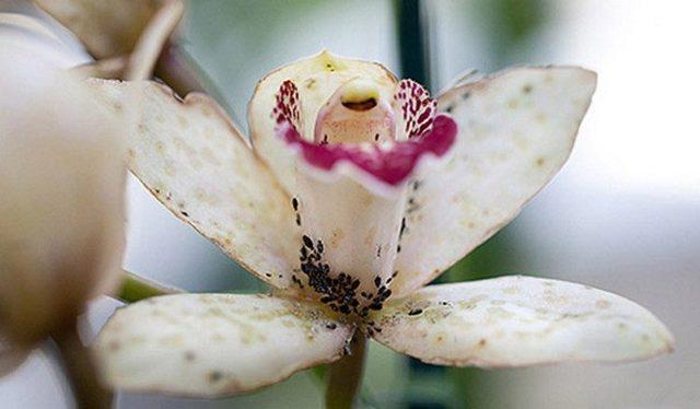 Как бороться с тлей на комнатных растениях в домашних условиях: фото, и как избавиться быстро, вывести с цветов, убрать своими руками, уничтожить на хризантеме?