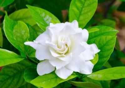 Гардения Таитянская, Царственная, gardenia ternifolia, Карината, brighamii, golden magic, Розовая, Вариегатная, Тунберга, иные виды комнатного растения и уход за ним