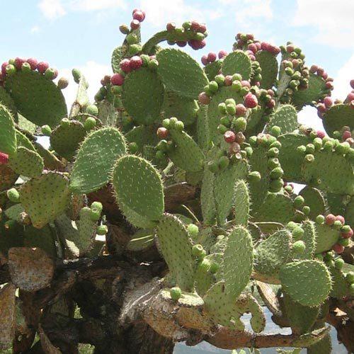 Масло опунции: полезные свойства, а также показания и способы применения продукта из семян кактуса