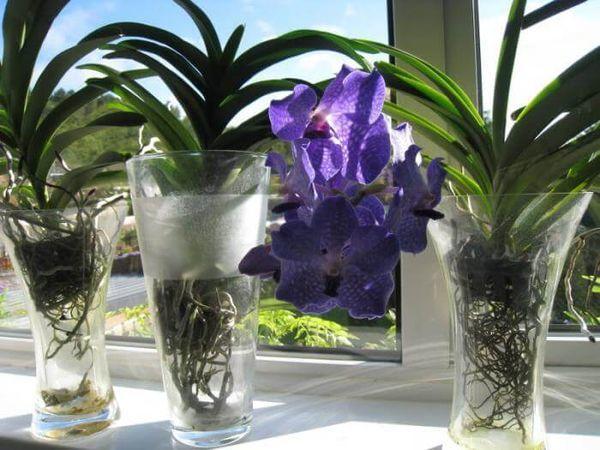 Выращивание орхидеи в воде: что это за метод и сколько нужно держать ее в таком состоянии в домашних условиях, а также как производится уход?