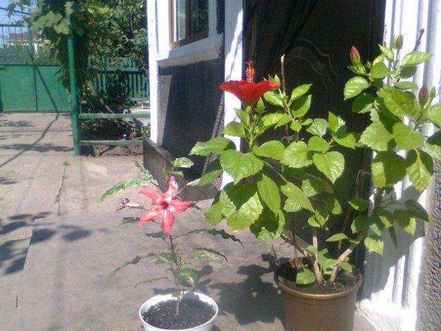 Листья у китайской розы желтеют и опадают: почему это происходит, а также почему комнатное растение сбрасывает бутоны и что делать в этой ситуации?