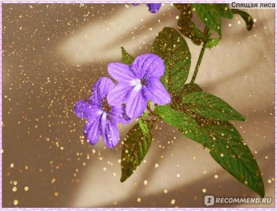 Комнатное растение броваллия Красивая, Ампельная или Жемчужная, Великолепная или Синие колокольчики, Океан микс, Беллс индиго: описание и фото цветов