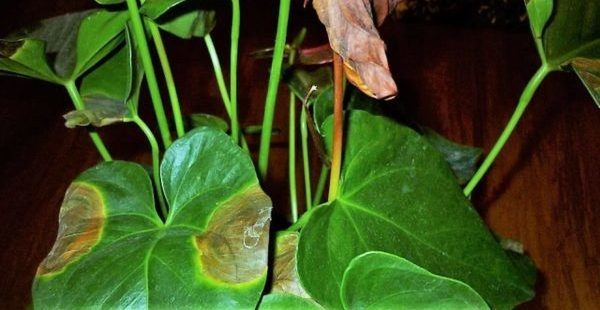 Антуриум Черный принц: фото, ботаническое описание и история происхождения, советы по уходу за растением в домашних условиях и избавлению от болезней и вредителей