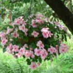 Бальзамин многолетний и однолетний: посадка садового цветка и уход за ним, а также вид на фото
