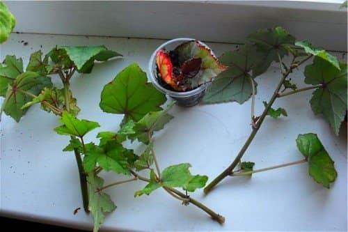 Бегония ампельная, выращивание и размножение методами черенков и из семян, каким образом правильно произвести посадку цветка?