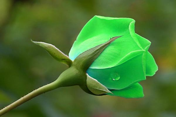 Цвета цветов роз: описание и фото разных сортов всех привычных оттенков, какие только бывают, а также необычных, которые есть в природе