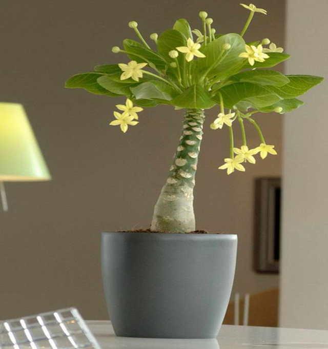 Бригамия: виды комнатного растения Великолепная (Замечательная) и Роки, уход за гавайской пальмой в домашних условиях, а также размножение и вредители