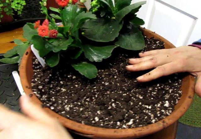 Каланхоэ - пересадка и уход в домашних условиях: можно ли менять горшок и землю у цветущего растения сразу после покупки и какой грунт подходит для этой процедуры?