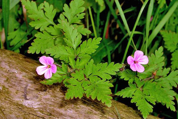 Лечебные свойства герани: для чего пеларгония нужна в доме, ее фото, а также от чего помогают полезные комнатные и дикие виды и как использовать листья и цветы