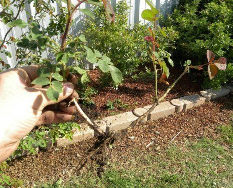 Как вырастить розы из черенков: размножение кустового цветка отростками, почему гибнут и чернеют побеги и как правильно обрезать для посадки и укоренения осенью?