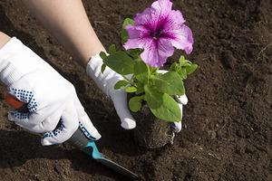 Петунии в саду или во дворе - оформление с фото: история появления, разновидность сортов, посадка в открытый грунт, правильный уход, болезни и вредители