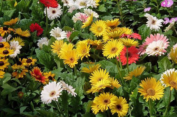 Герберы из семян в домашних условиях: как выращивать, как правильно произвести посадку комнатного цветка и ухаживать за ним?