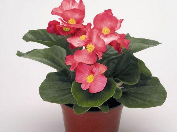 Бегония: описание, цена, другие названия и фото красивоцветущего комнатного растения, а также правила ухода за домашними декоративными и кустовыми цветами