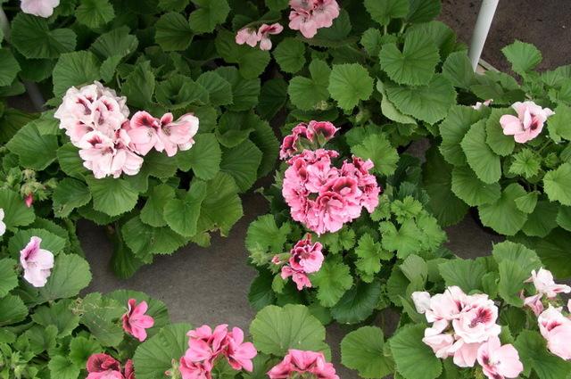 Пеларгония: что это такое, описание и классификация видов растения, фото цветка различных сортов, особенности выращивания и условия зимовки на балконе, клумбе и дома