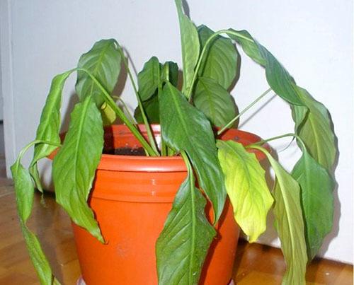 Цветок «женское счастье» нецветущий: почему спатифиллум плохо растет, что делать при отсутствии бутонов и как ухаживать за растением?
