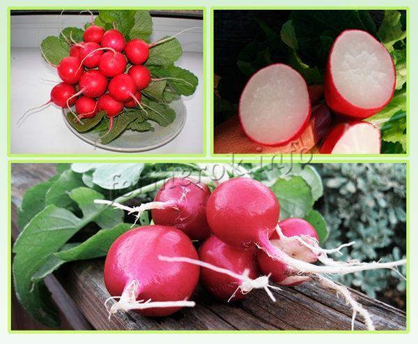 Редис Черриэт f1 (Ф1): описание сорта, посадка семенами, выращивание, урожайность, достоинства и недостатки, устойчивость к заболеваниям