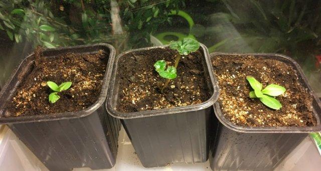 Комнатное растение бегония Голая: описание, правила посадки, уход  и особенности размножения