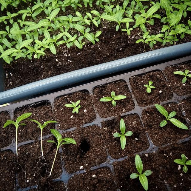 Катарантус из семян в домашних условиях: рекомендации при выборе посевного материала чтобы вырастить цветок, когда и как сеять рассаду, фото