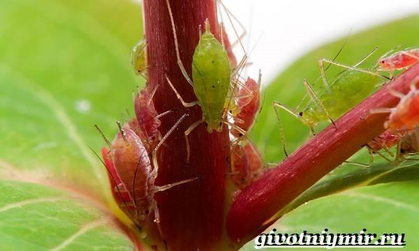 Чем питается тля: что ест насекомое, какие растения не любит и обходит стороной, а также типы и объекты его рациона в природе, условия для жизни и размножения