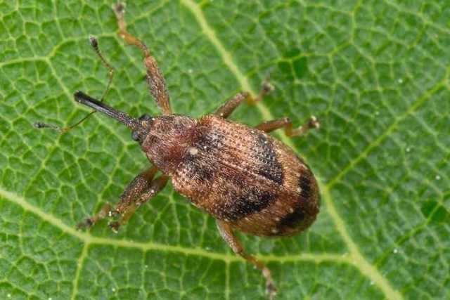 Кто ест тлю из насекомых и является самым опасным врагом против паразита, а также как ещё можно уничтожить вредителя?