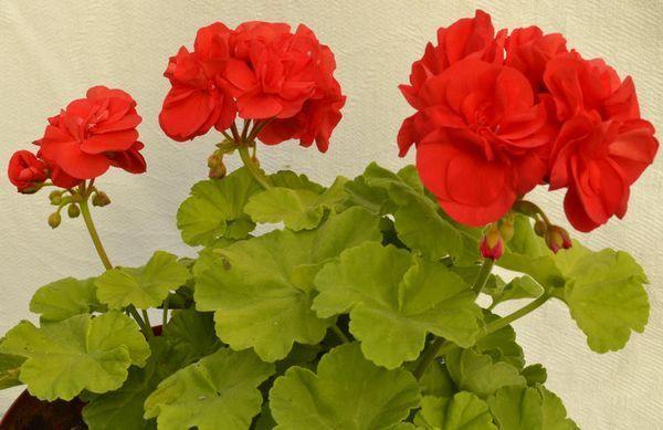 Герань розовидная: описание внешнего вида махровых и иных сортов, советы по уходу в домашних условиях, а также фото цветущего растения красного и других оттенков