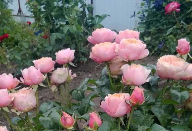 Тля на розах комнатных, садовых, китайских: как бороться, чем обработать и опрыскать, как избавиться народными средствами, что делать с домашними цветами?