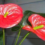 Антуриум Андре (anthurium andreanum): описание и фото видов Микс, Красный, Чемпион и Туренза, уход в домашних условиях за комнатным растением и в открытом грунте