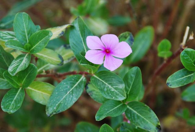 Катарантус розовый и барвинок: это один и тот же вид или нет, фото, лечебные свойства травянистого растения, уход за комнатным цветком и растущим в открытом грунте