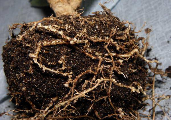 Червецы: описание и фото кошенильного, корневого, лакового, соснового, мучнистого, комстока, а также опасны ли они для комнатных растений и как с ними бороться?