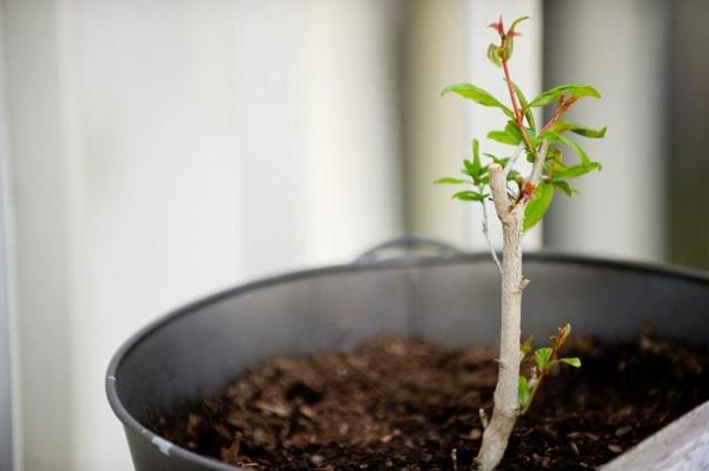 Как ухаживать за гранатом в открытом грунте в саду и при выращивании дома в горшке: как поливать дерево, как проводить его подкормку, бороться с тлей и болезнями?
