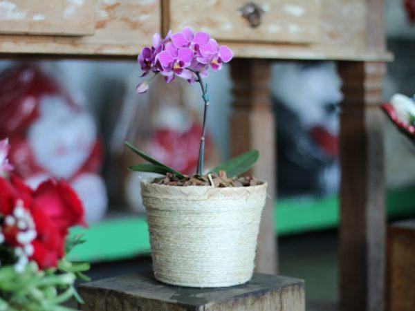 Орхидея фаленопсис–мини: уход в домашних условиях, особенности содержания после покупки из магазина, а также фото карликовых цветов