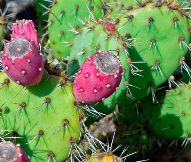 Опунция (opuntia): что это такое, фото видов кактуса, описание цветения в домашних условиях и советы по уходу за растением