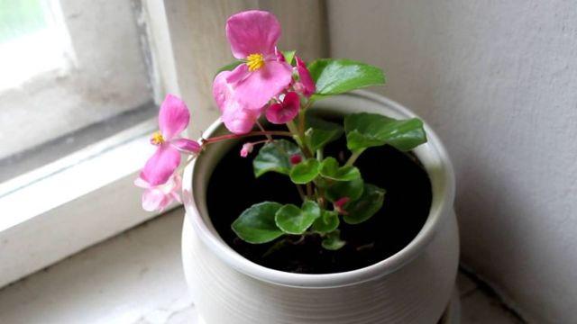 Бегония однолетняя или многолетняя: уход за садовым растением, можно или нет поливать холодной водой?