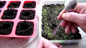 Лобелия: посадка в открытом грунте, уход и фото морозостойких сортов растения