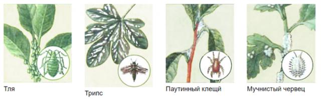 Болезни спатифиллума: почему они поражают цветок Женское счастье и как с ними бороться, а также фото и советы по лечению и дальнейшему уходу в домашних условиях