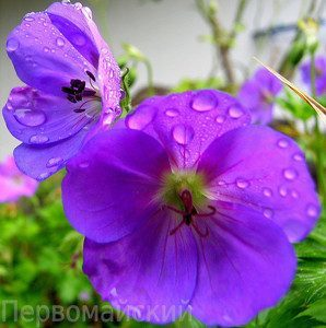Герань гибридная: описание, популярные сорта (Блу блад, Патриция), а также уход за ними