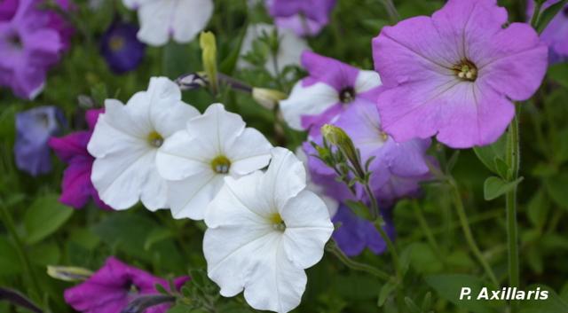 Петуния мелкоцветковая: история происхождения цветка, существующие сорта , в том числе ампельной формы, правила посадки и последующего ухода за растением
