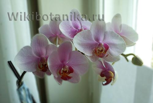 Красная орхидея: бывают ли растения такого цвета, фото и рекомендации по уходу
