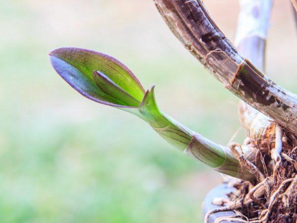 Как растет цветонос у фаленопсиса: сколько это занимает времени, как он выглядит на фото и как отличить его от корня, а также что делать, если сломался?
