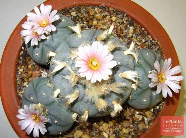 Лофофора Уильямса (или Вильямса): ботаническое описание, уход в домашних условиях, размножение детками и семенами, а также цветение lophophora williamsii