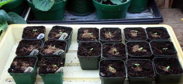 Как посадить герань отростком без корней правильно: можно ли это сделать и что нужно для того, чтобы в домашних условиях размножить растение в горшке с землей?