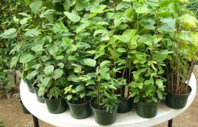 Гибискус садовый: уход, размножение древовидного черенками и семенами весной, выращивание в открытом грунте, советы, как правильно провести зимовку, а также фото