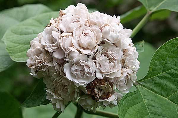 Клеродендрум Бунге: что это такое, как выглядит на фото, какого ухода требует растение в открытом грунте, что известно о болезнях и вредителях?